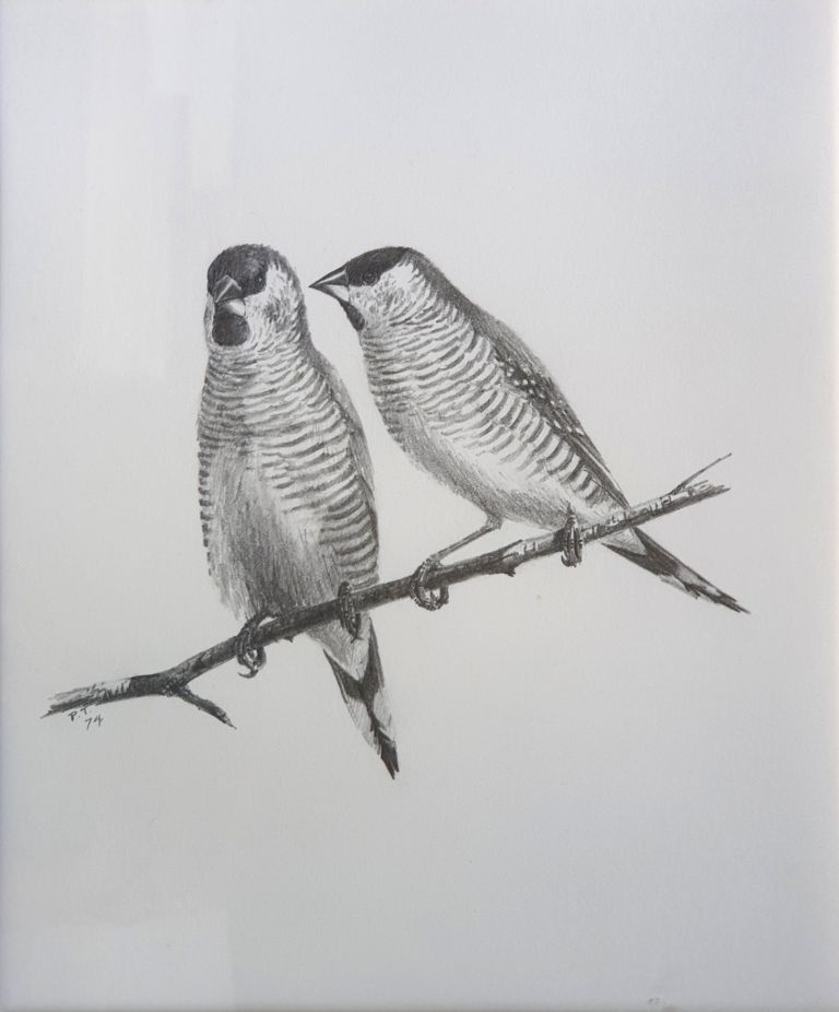 Plum-headed Finches 1974. Peter Trusler.