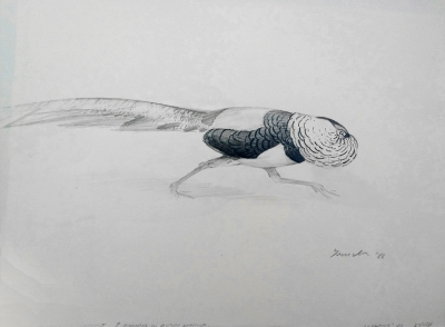 Lady Amherst's Pheasant running in display attitude 1986. Peter Trusler.