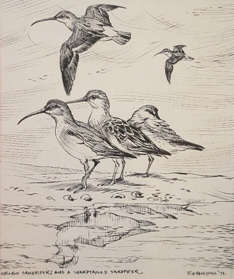 Curlew Sandpipers and a Sharp Tailed Sandpiper. Robin Hill.