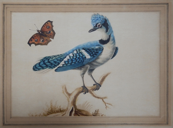 Blue Jay and Butterfly c1779. Sarah Stone.