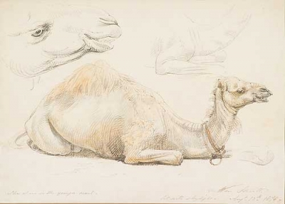 The Younger Camel 1878. William Strutt.